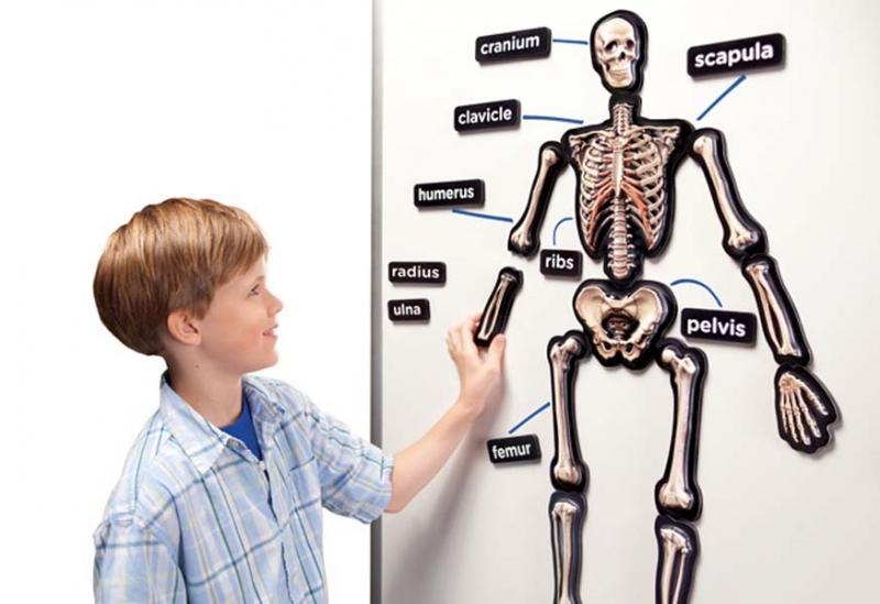 Magneti 3D Scheletul uman