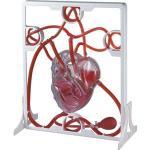 Set Inima si Sistemul circulator