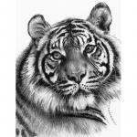 Schita creion incepatori Cap tigru