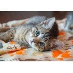 Puzzle Bluebird Kitten 260 piese